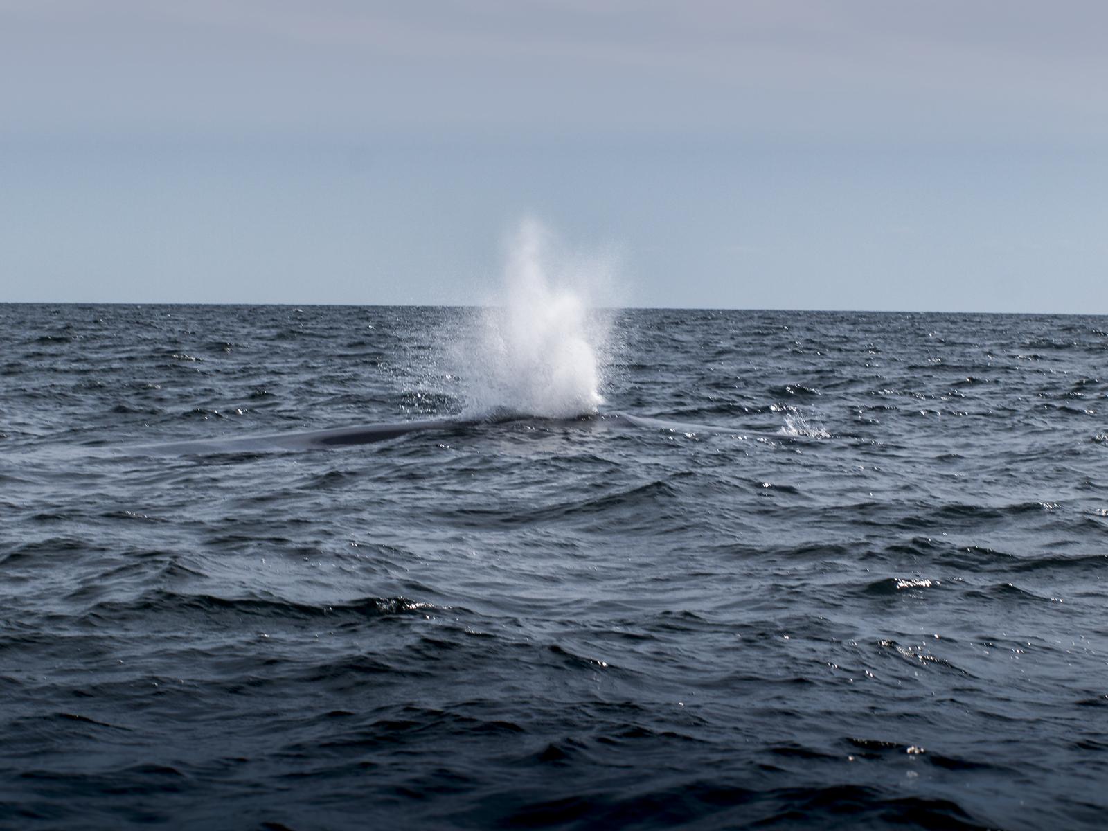 whale, ingonish, cape breton island, cabot trail